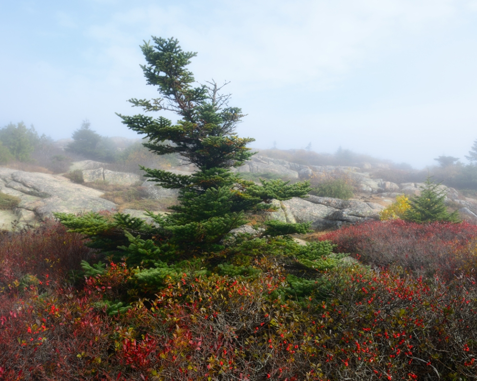 Bent Pine (Acadia National Park, Maine)