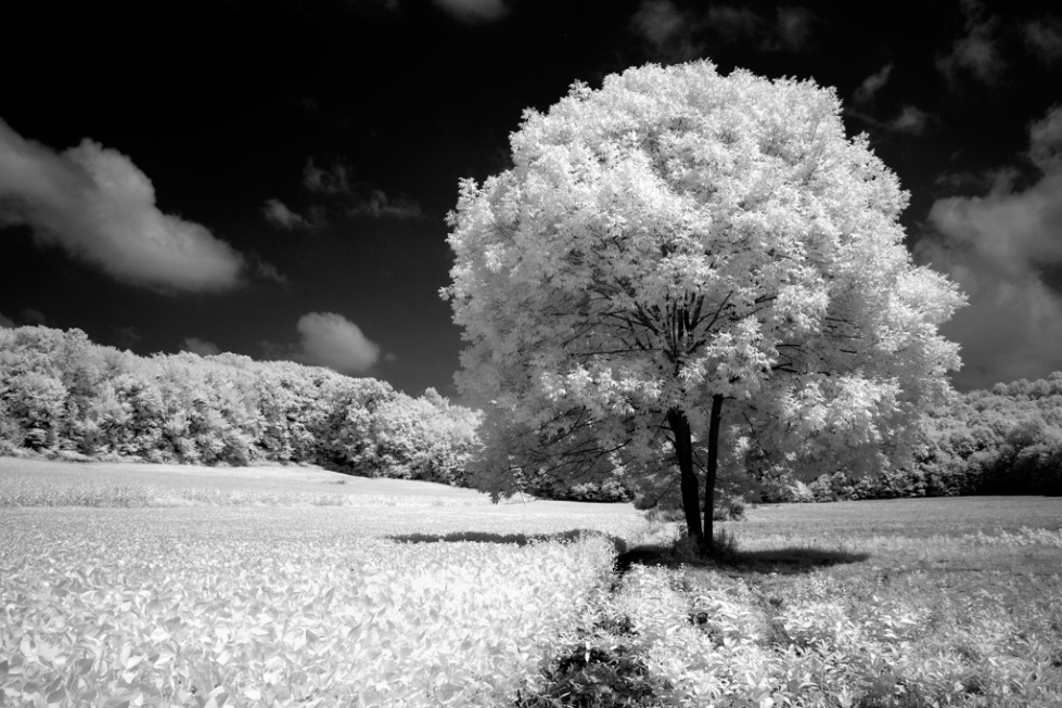 Infrared Tree (Western PA)