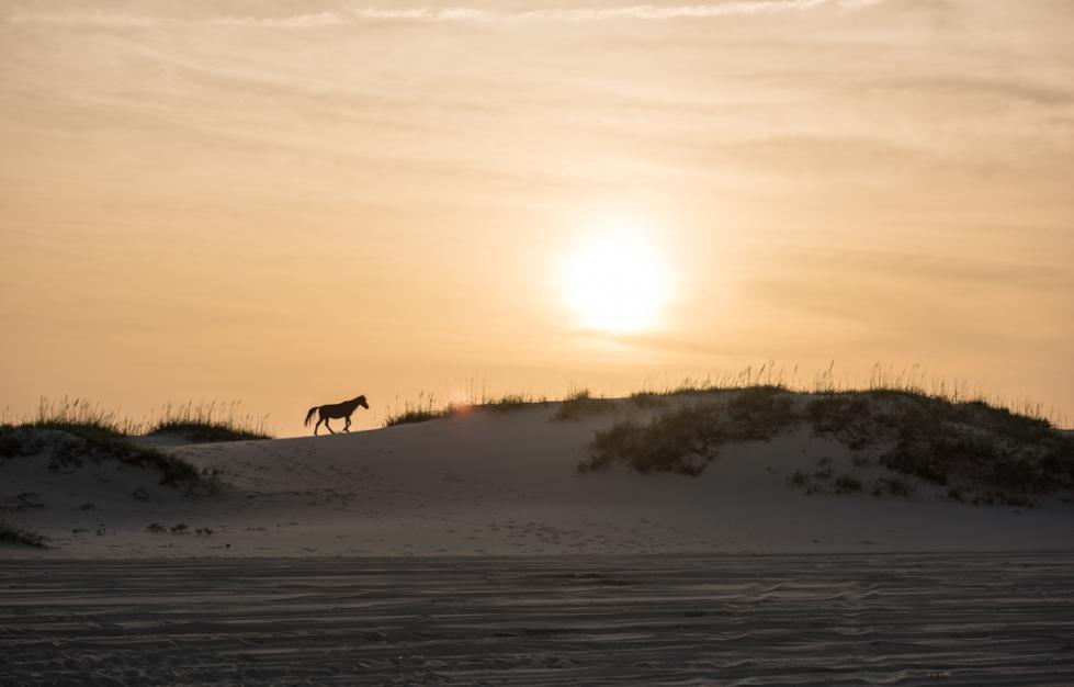 Wild Stallion (Corolla, NC)